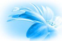 Gerbera mit Wassertropfen - Serie by inti
