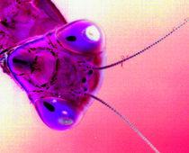 Mantiskopf in Pink von Rainar Nitzsche