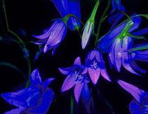 Glockenblume leuchtend blau von Rainar Nitzsche