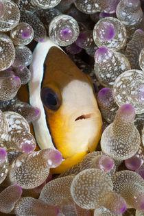 Clownfisch by Reinhard Dirscherl