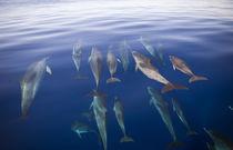 Delfinschule von Reinhard Dirscherl