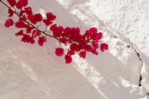 Bougainvillea by pichris