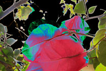 Bougainvillea delikat by Susanne Brutscher