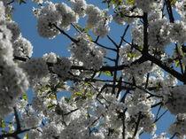 White Flowers - Blue Sky