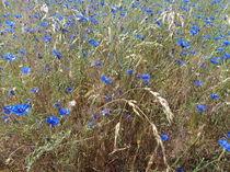 Kornblumen von Wiebke Blume