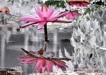 Seerose im Silbersee von Udo Schiffgen