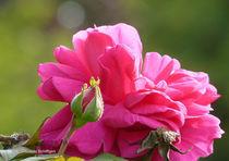 Rose mit Knospe von Udo Schiffgen