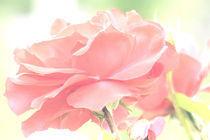 Zarte Rose von Udo Schiffgen