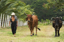 Farmer and Cattle, Ecuador von Melissa Salter
