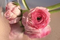 rosa Ranunkelchen by blickpunkte