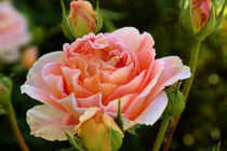 ROSE mit Bokeh by blickpunkte