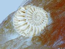 Ammonit von blickpunkte