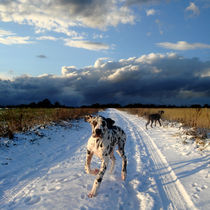 Doggen im Schnee by Mathias May