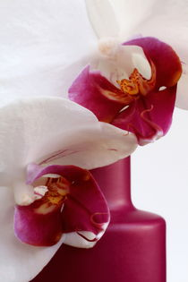 Orchidee purpur by pichris