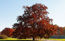 Rotbuche im Herbst by spiritofnature