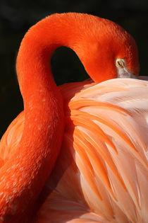 Flamingo von Martin Kretschmar