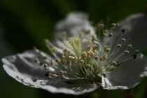 Brombeerblüte von Martin Kretschmar