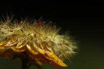 Strohblume von Martin Kretschmar