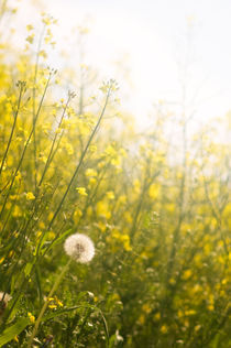 Rapsfeld by Martina Raab
