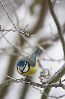 Meise by Martina Raab