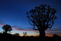 Sonnenuntergang im Köcherbaumwald von Markus Ulrich