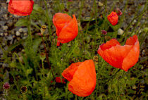 Klatschmohn by opaho