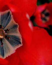 Red Tulips von pixeria