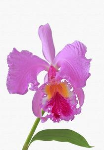 Laelia Cattleya Orchidee von monarch