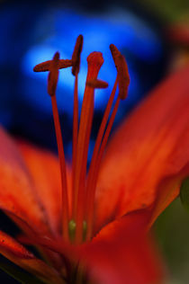 Feuerlilie by pahit
