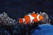 Anemonenfisch von Siegfried Meyer