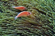 Anemonenfische von Siegfried Meyer