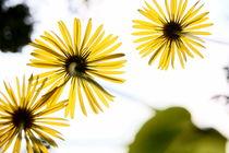 gelbe Blumen von unten - Gämswurz von magdeburgerin