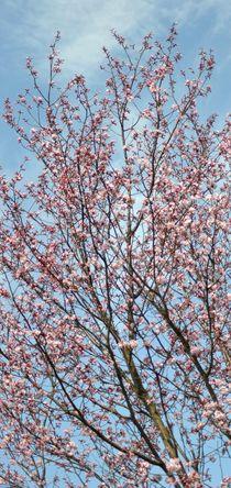 Kirschblüte by Irmtraut Prien