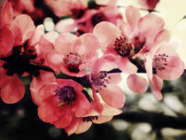 Japanese Quince von Sybille Sterk