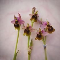 Wilde Orchideen von pahit
