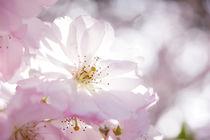 Flowering Cherry by Astrid Cordes-Bogatka