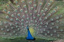 Peacock by George Kay