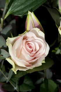Rose by George Kay