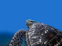 Schildkröte mit Putzerfisch by qarts
