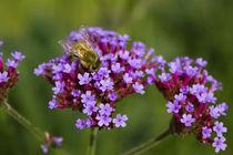 Biene auf Blüten by Andreas Kaczmarek