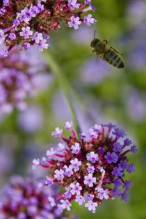 Biene im Flug by Andreas Kaczmarek