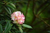 Rhodoendron von Ralph Bridges