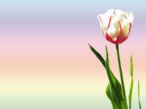 Tulpe von malitia