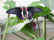 Schmetterlingstanz von malitia