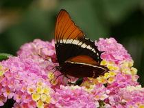 Schmetterling auf Nahrungssuche von malitia