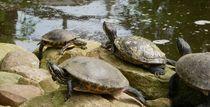 Schildkröten von malitia