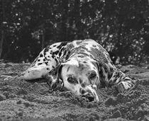 The Dalmatian von Christian Archibold