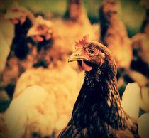 Chickens by Evita Knospina
