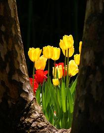 Tulpenlichtung von Frank Rebl