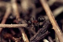 Ant by Evita Knospina